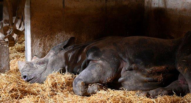 World's Oldest Black Rhinoceros Dies Aged 57 (Photos) 3