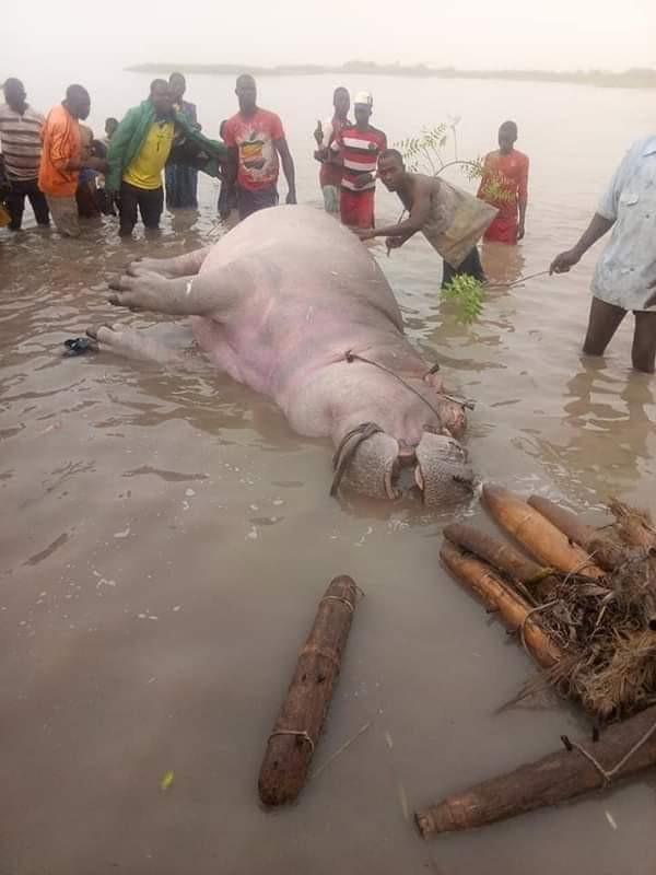 Fishermen Kill Hippotamus In Kebbi State (Photos) 3