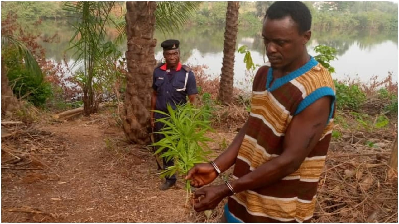 Indian Hemp Farm Uncovered In Anambra School Compound