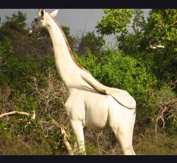 Poachers Killed Kenya's Only White Female Giraffe And Her Calf 1