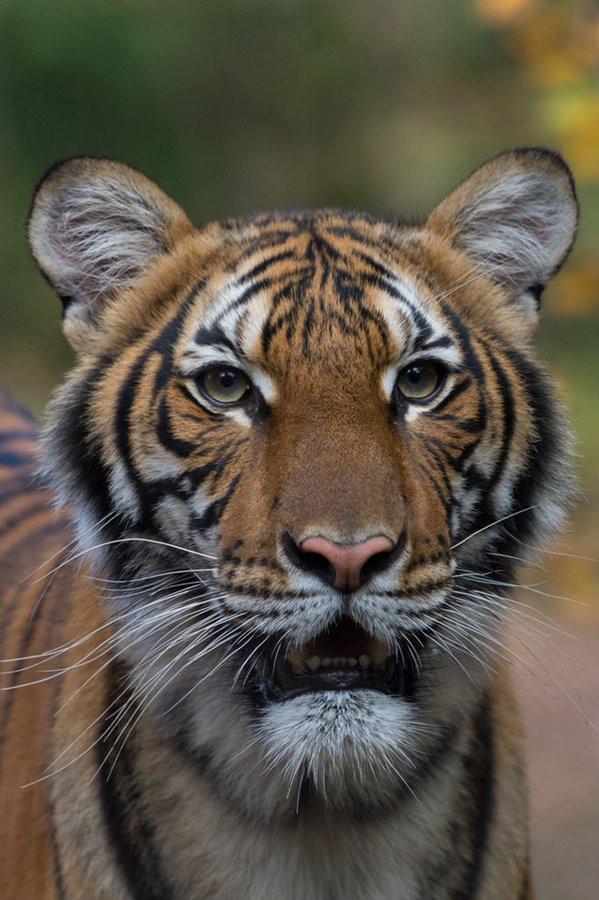 Tiger At New York City Zoo Tests Positive For Coronavirus