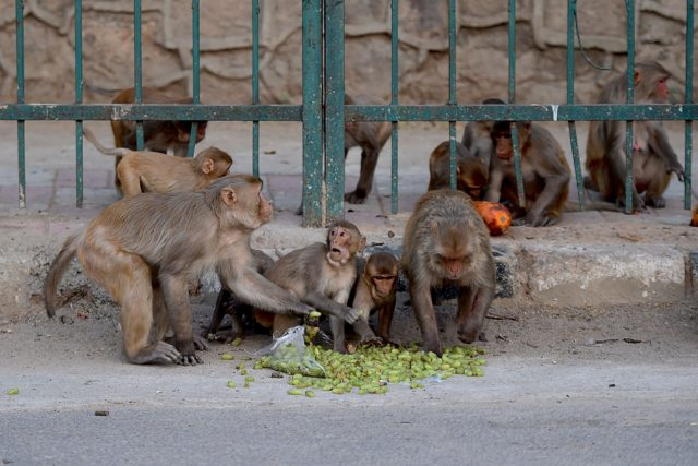 Monkeys Escape With Coronavirus Samples Kept In The Laboratory