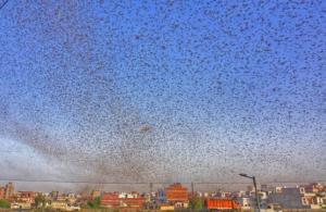 Millions Of Locusts Attack India, Residential Areas Turning Sky Black 5