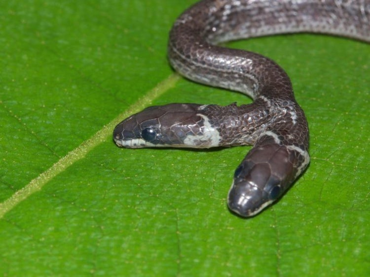 Snake With Two Heads Seen In India Sanctuary