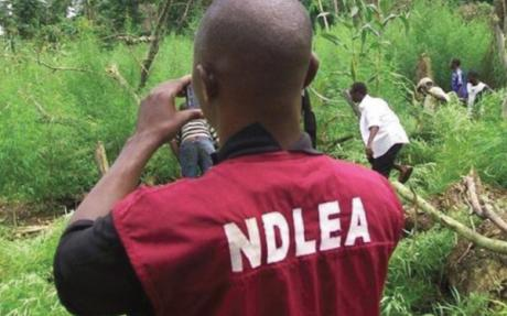 Over 14 Hectares Of Cannabis Sativa FARM Destroyed By NDLEA In Osun