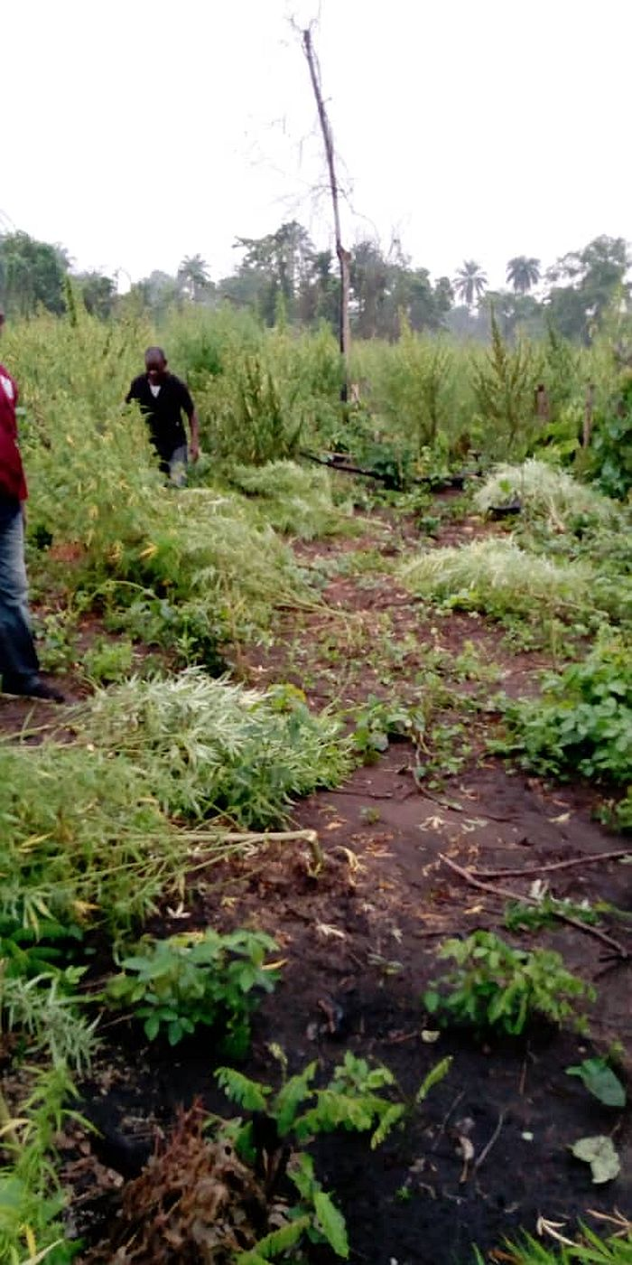 Over 14 Hectares Of Cannabis Sativa Farm Destroyed By NDLEA In Osun 5