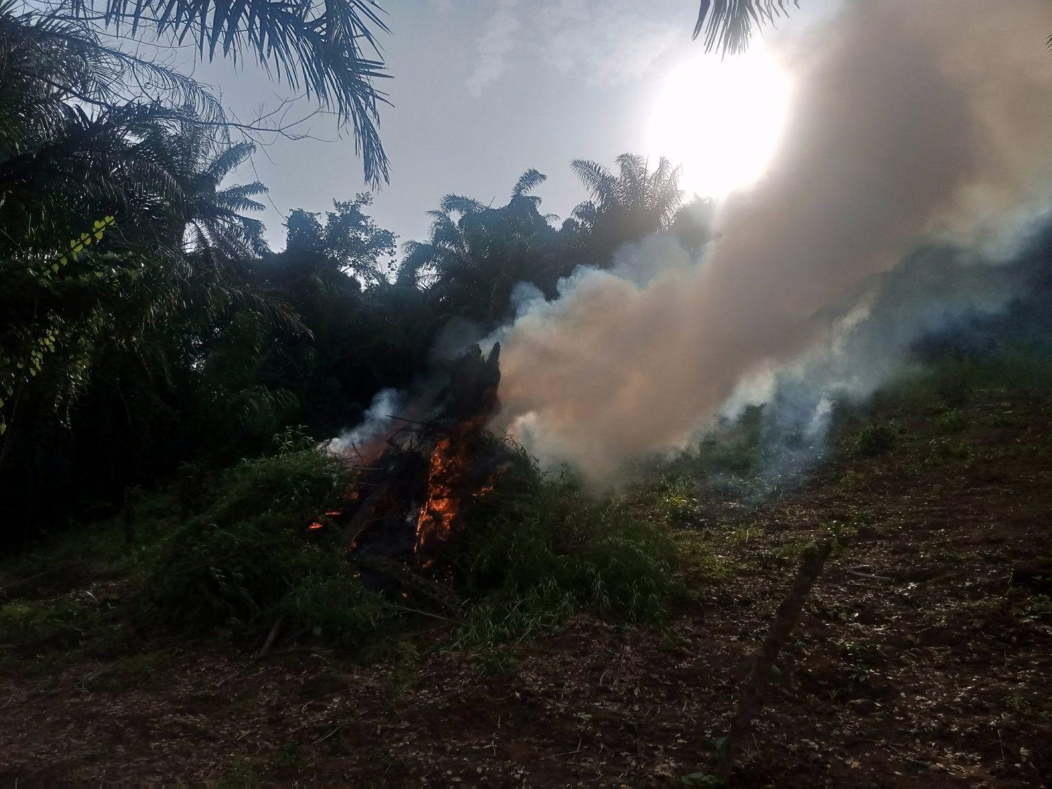 NDLEA Destroy Cannabis Farm Worth Over N1.5bn, Owner Arrested in Kogi (Photos)